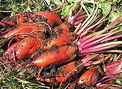 """Colossal Long Red Mangel Beet Seeds - 24"""" long beets weighing up to 15 lbs. !!!"""