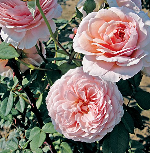 - David Austin English Roses - William Morris