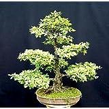 9GreenBoxs: Chinese Elm Bonsai 25 Seed/Seeds - Ulmus parvifolia