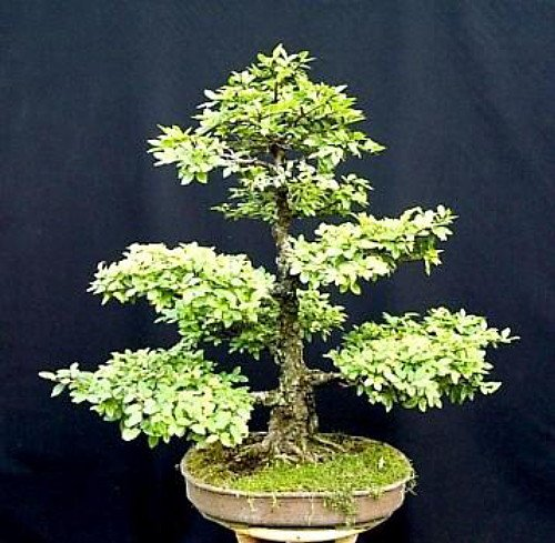 Bonsai Chinese Tree Elm (Chinese Elm Bonsai 25 Seed/Seeds - Ulmus parvifolia)