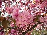 10 seeds Japanese Cherry Sakura Prunus serrulata Bonsai