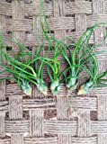 Airplants Tillandsia Bulbosa 5 Pack (Grown and Shipped from California)