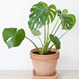 Indoor Evergreen House Plant Swiss Cheese Monstera Plant for Home, Office & Conservatory with Large, Glossy Exotic Leaves, 1 x 11cm Pot by Thompson & Morgan