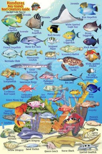 "Honduras Bay Islands Reef Creatures Guide Franko Maps Laminated Fish Card 4"" x 6"""