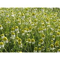 Asklepios-seeds® - 2000 Semillas de Matricaria recutita Manzanilla de Castilla, manzanilla alemana, dulce o cimarrona…