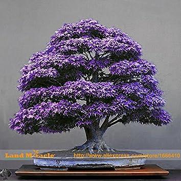 Hot Sale Real Japanese Purple Ghost Maple Tree Bonsai Seeds 10
