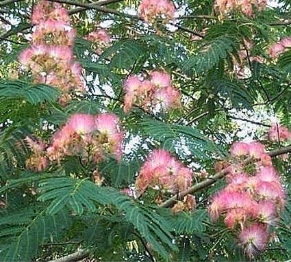 Amazon pink silk mimosa tree 10 seeds tree plants garden pink silk mimosa tree 10 seeds mightylinksfo