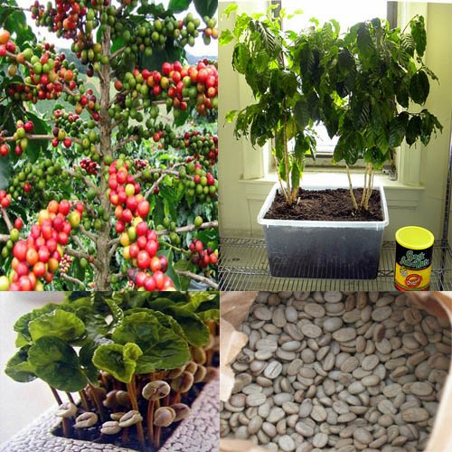 20 Arabica Catura Coffee Bean Organic 100% Seeds Bonsai Or Garden Plant. Serene Growth for Healthy Life