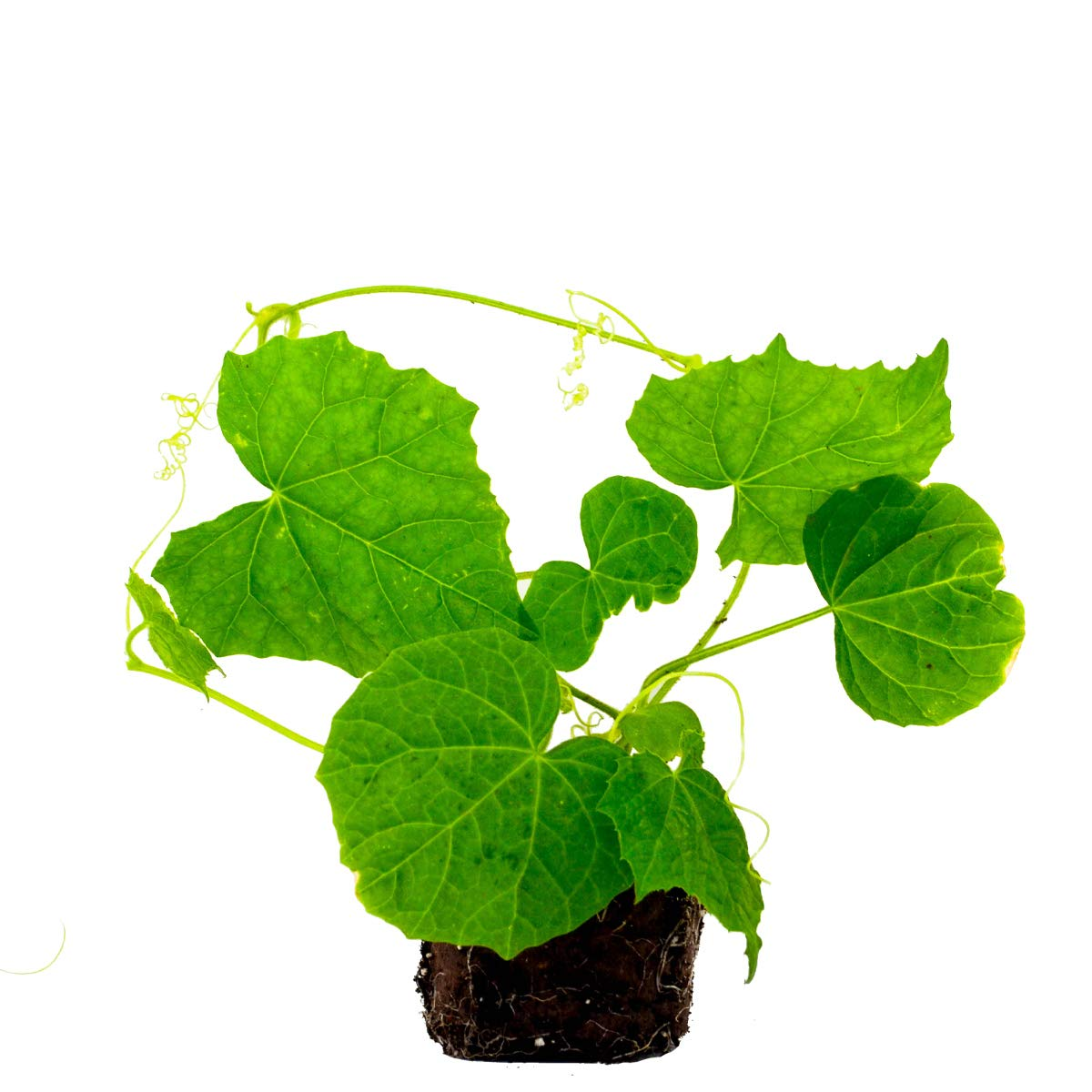 6 Pack of Cucamelon Plants   Ready-to-Plant   Plantables