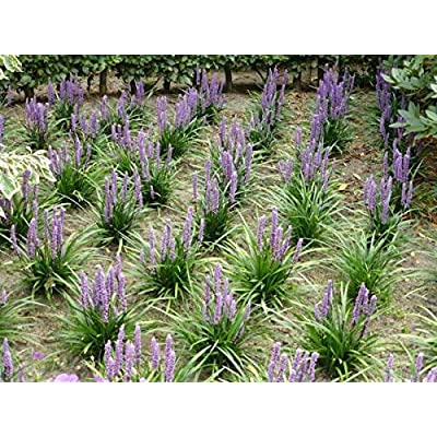Liriope Grass (100 Seeds) : Garden & Outdoor