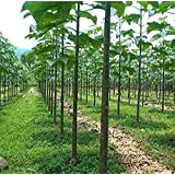 Plentree Seeds Package: 5000 Seeds Paulownia Elongata - Royal Empress Tree - Fast Growing Tree!
