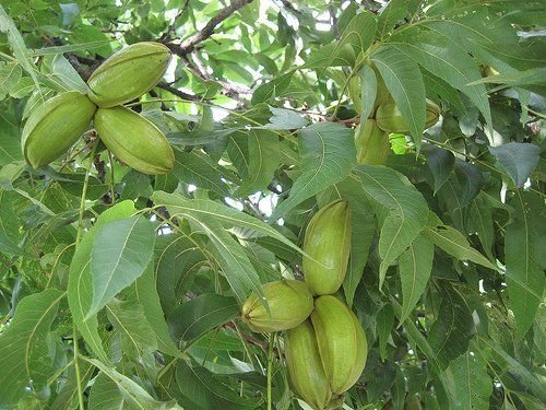 2-pecan-trees-cold-hardy-1-2-ft-edible-nuts-live-plants-trees-seedlings