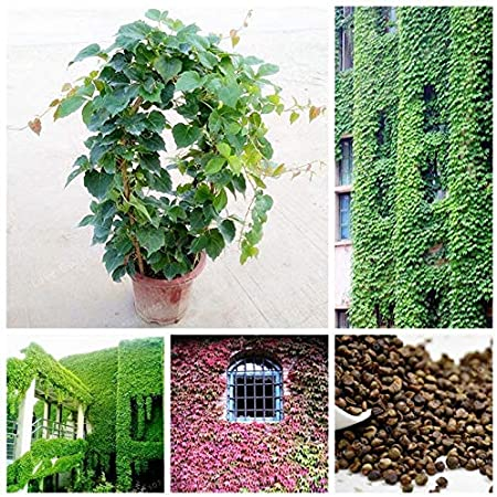 Amazon Com Wanchen Green Boston Ivy Bonsai Outdoor Plants Almost