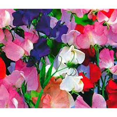 Toyensnow - Royal Family Sweet Pea Vine - Beautiful Bright Color Mix (10 Seeds) : Garden & Outdoor