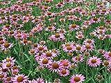 ECHINACEA 'PIXIE MEADOWBRITE'' - CONEFLOWER - STARTER PLANT - DORMANT