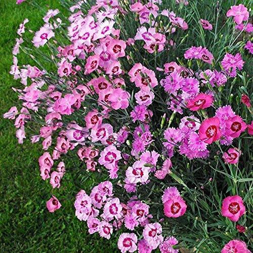 Portal Cool Organic Flower Seeds Carnation Feathery Mix (Dianthus Plumaris) Peristaya