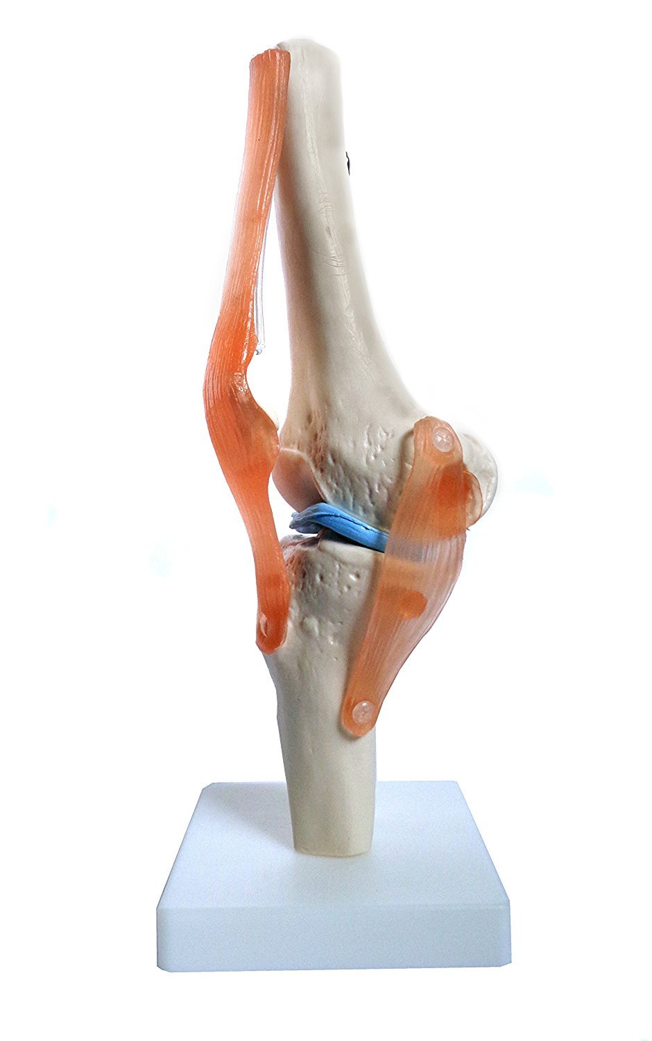 Anatomy Model Of Human Knee Joint Bones Anatomical Joint Models For