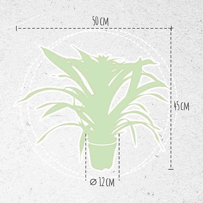 breasy - Conjunto de 2 bromelien Guzmania deseo Rosa - Ganadero olla 12 cm - Altura de bromelia 45 cm - Calidad de Holland - Fresco del Ganadero - Excelente ...