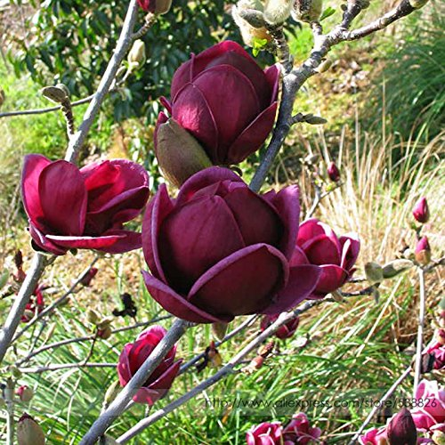 Loss Promotion! Rare 'Genie' Genie Dark Red Yulan Magnolia Tree Flower Seeds, Professional Pack, 10 Seeds / Pack, Light Fragrant Garden Tree