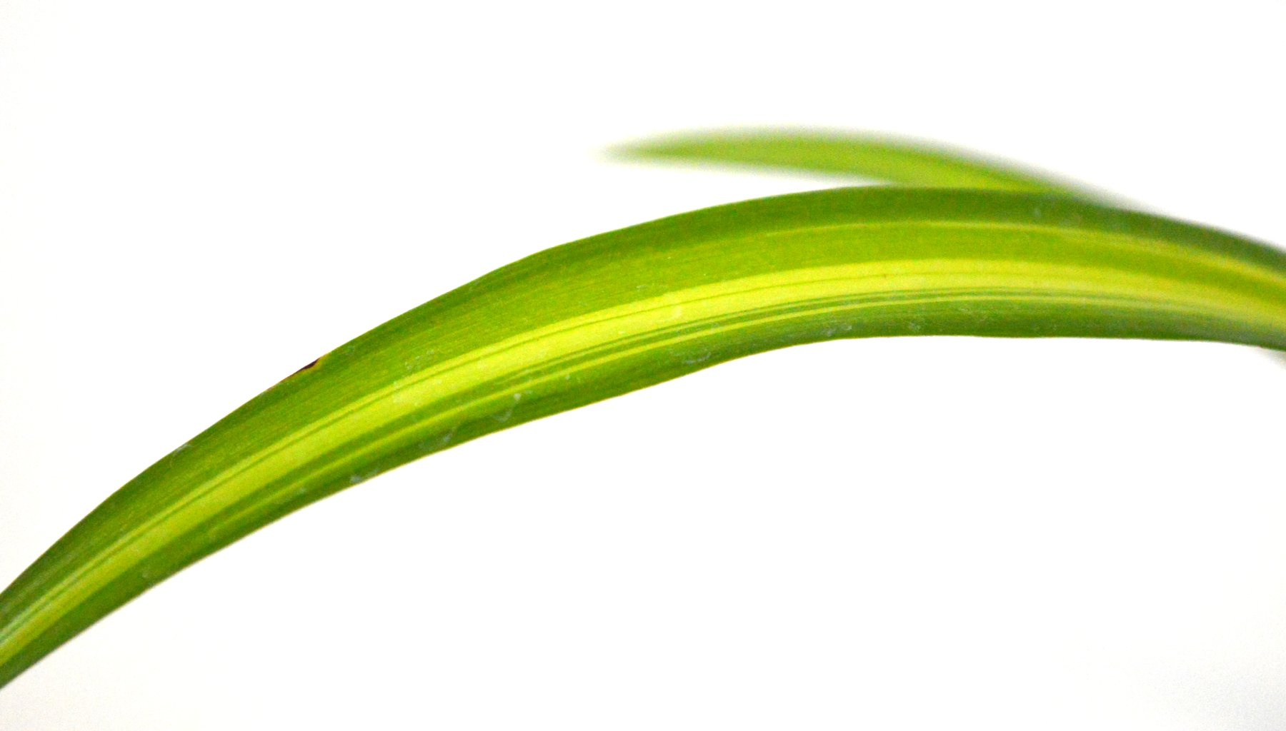 9GreenBox - Ocean Spider Plant - Easy to Grow - Cleans The Air - New - 2 Pack by 9GreenBox.com (Image #5)
