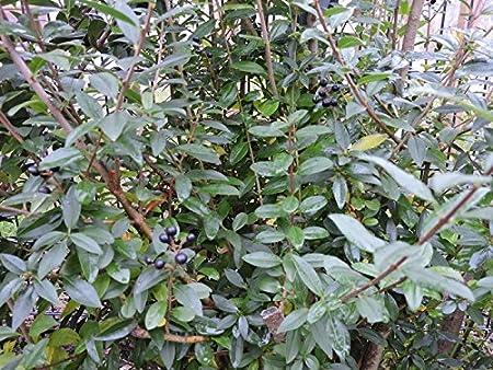 Schwarzgrüner Liguster Ligustrum vulgare Atrovirens Gewöhnlicher Liguster