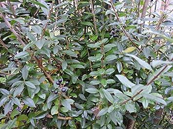 150 Stk Schwarzgrüner Liguster Atrovirens Ligustrum Vulgare