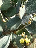 Home Comforts Laminated Poster Cactus Opuntia Robusta Prickly Pear Poster Print 24 x 36