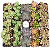 Shop Succulents Premium Pastel Succulent (Collection of 140)