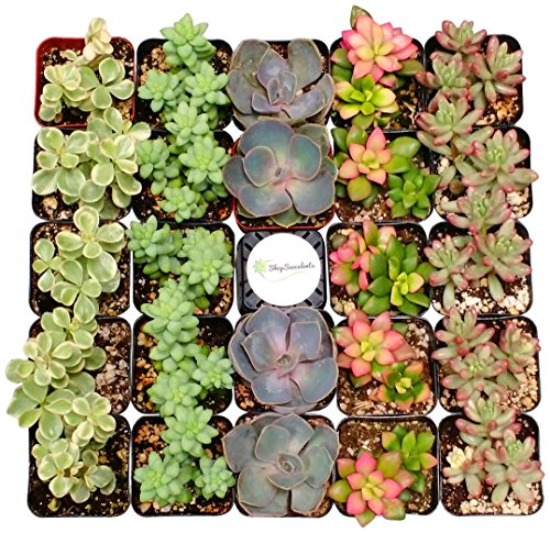 Shop Succulents Premium Pastel Succulent (Collection of 140) by Shop Succulents
