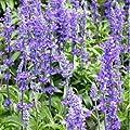HEIRLOOM NON GMO Beautiful Blue Sage 100 seeds