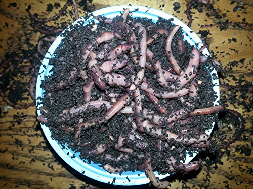 Bestbait.com European Nightcrawlers Composting Worms Fish...