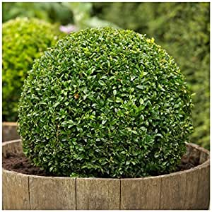 1 Starter Plant of American Boxwood in Gallon Pot