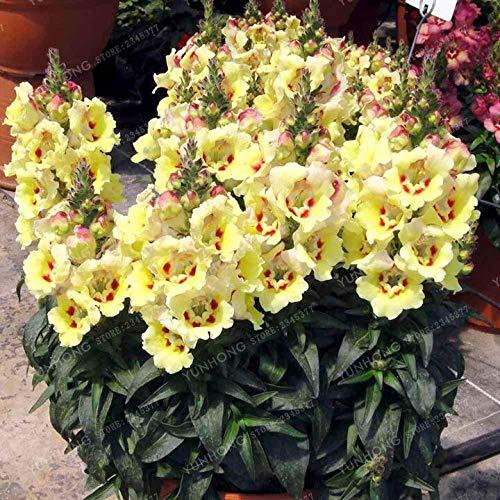 Antirrhinum Bonsai Dwarf Common Snapdragon Flower Bonsai Home Bonsai Potted Plants Planting 100 ()