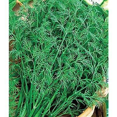 Herb Seeds Dill Superdukat Heirloom Seed : Garden & Outdoor