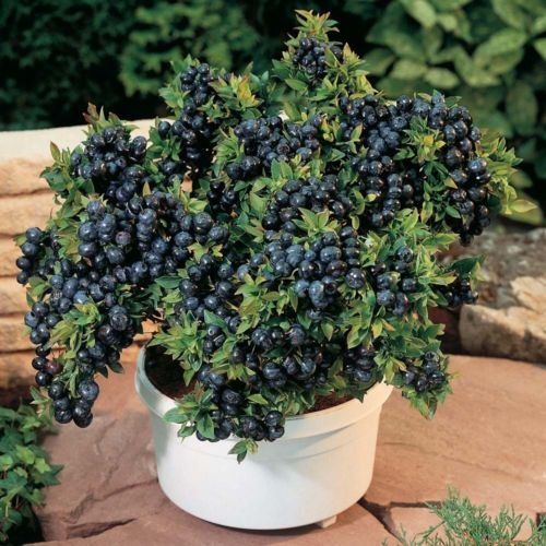 New and Healthy 1 PCS Blueberry - ' Top Hat ' - Vaccinium ( Northern Low Bush ) Starter - Mail Hours Priority Delivery Usps
