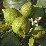 Citrus Lime Tree 1.2M tall