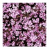 Soapwort Seeds - Low Growing Flowers - Marde Ross & Company