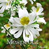 Butterfly Grass Seeds 100 Seeds Chile Flower Schizanthus Pinnatus 5 #32710822760ST