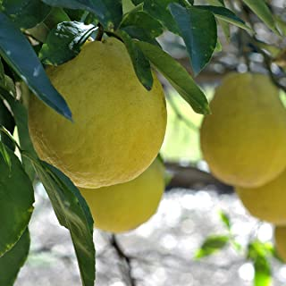 Van Zyverden 83904 Lemon Citrus Tree Eureka 1 Plant, 4' x 4' x 9' Pot - H 18-24' - 12-18 Months Old, Whitish