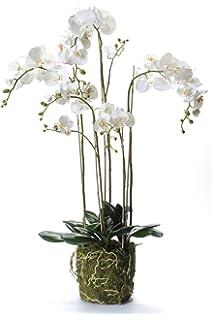 orchidee 4 triebe