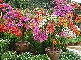 'Bougainvillea Spectabilis Seeds,Indoors/Outdoor or Bonsai,Tropical Vine