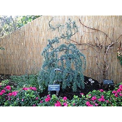 Weeping Blue Atlas Cedar 3 - Year Live Tree: Toys & Games