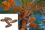 10 Date Palm Tree Seeds