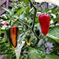 Fish Pepper Seeds- Organic- Heirloom Hot Variety- 40+ Seeds
