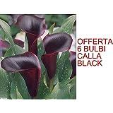 OFFERTA 6 BULBI PRIMAVERILI DI CALLA BLACK BULBS