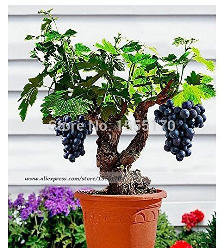 Miniature Grape Vine Seeds - Patio Syrah - Vitis Vinifera - Houseplant - 50 Seeds - Fruit Bonsai Seeds by tantarashop