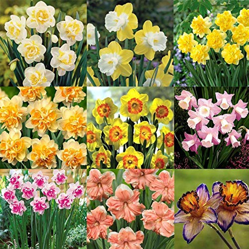 Latine Seeds 100 Pcs Narcissus Scented Pastel Mixed Daffodil Spring Plant Flower Seeds Garden Bulbs Plants Seeds