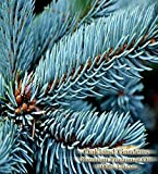 wood stove paste - BLUE SPRUCE Fragrance Oil & Essential Oil Blend - 100% UNCUT - Sophisticated blended with pine and cedarwood essential oils - By Oakland Gardens