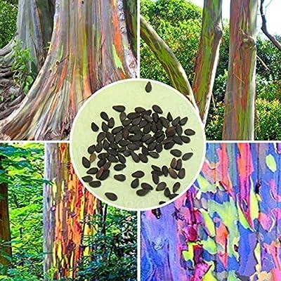 Bargain World 40pcs Rainbow Eucalyptus Seeds Garden Eucalyptus Deglupta Decor Plant : Garden & Outdoor