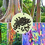 Bargain World 40pcs Rainbow Eucalyptus Seeds Garden Eucalyptus Deglupta Decor Plant